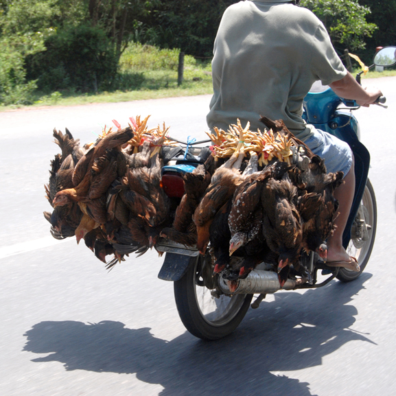 chicken transport